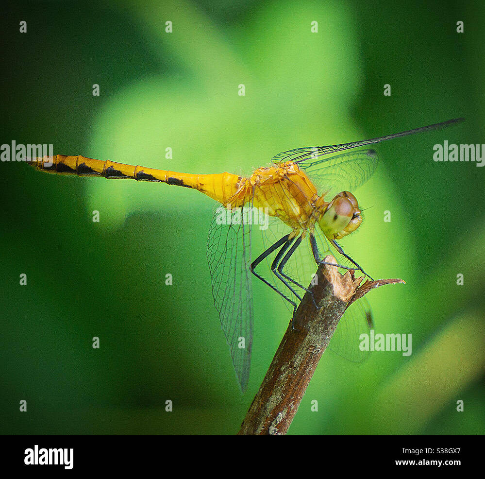 Female ruby meadowhawk dragonfly Stock Photo