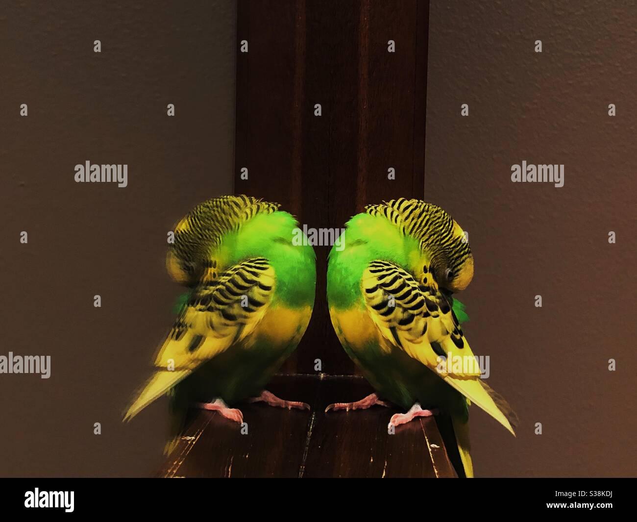 budgie parakeet Stock Photo