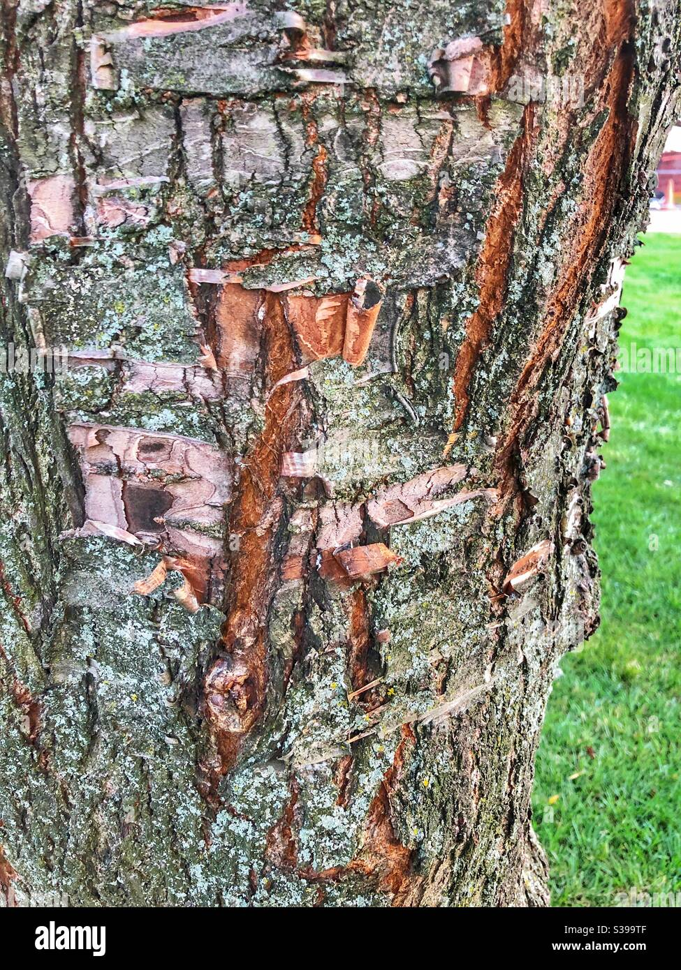 Peeling Cherry Tree Bark High Resolution Stock Photography And Images Alamy