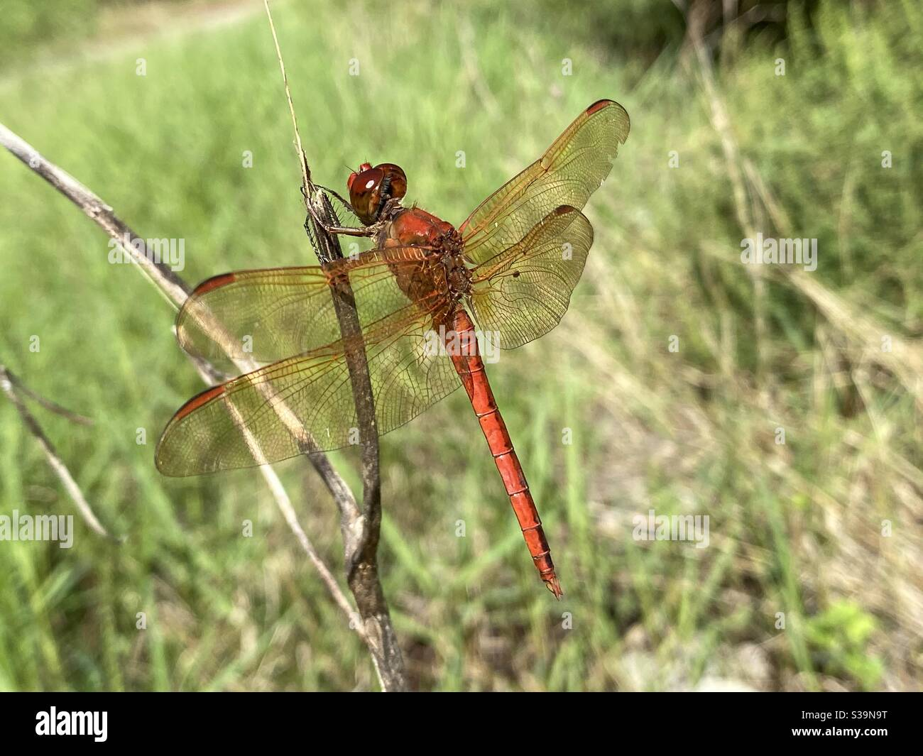 Red darter dragonfly perched on a stick in the forest Stock Photo