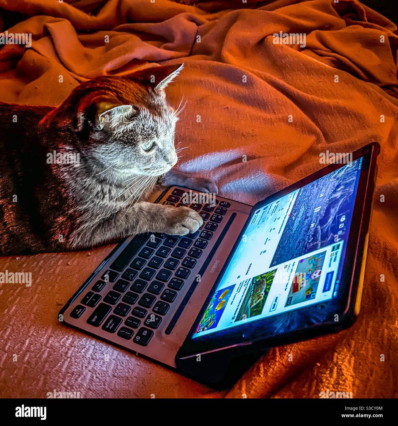 Gray tabby cat watching YouTube video on iPad. Stock Photo