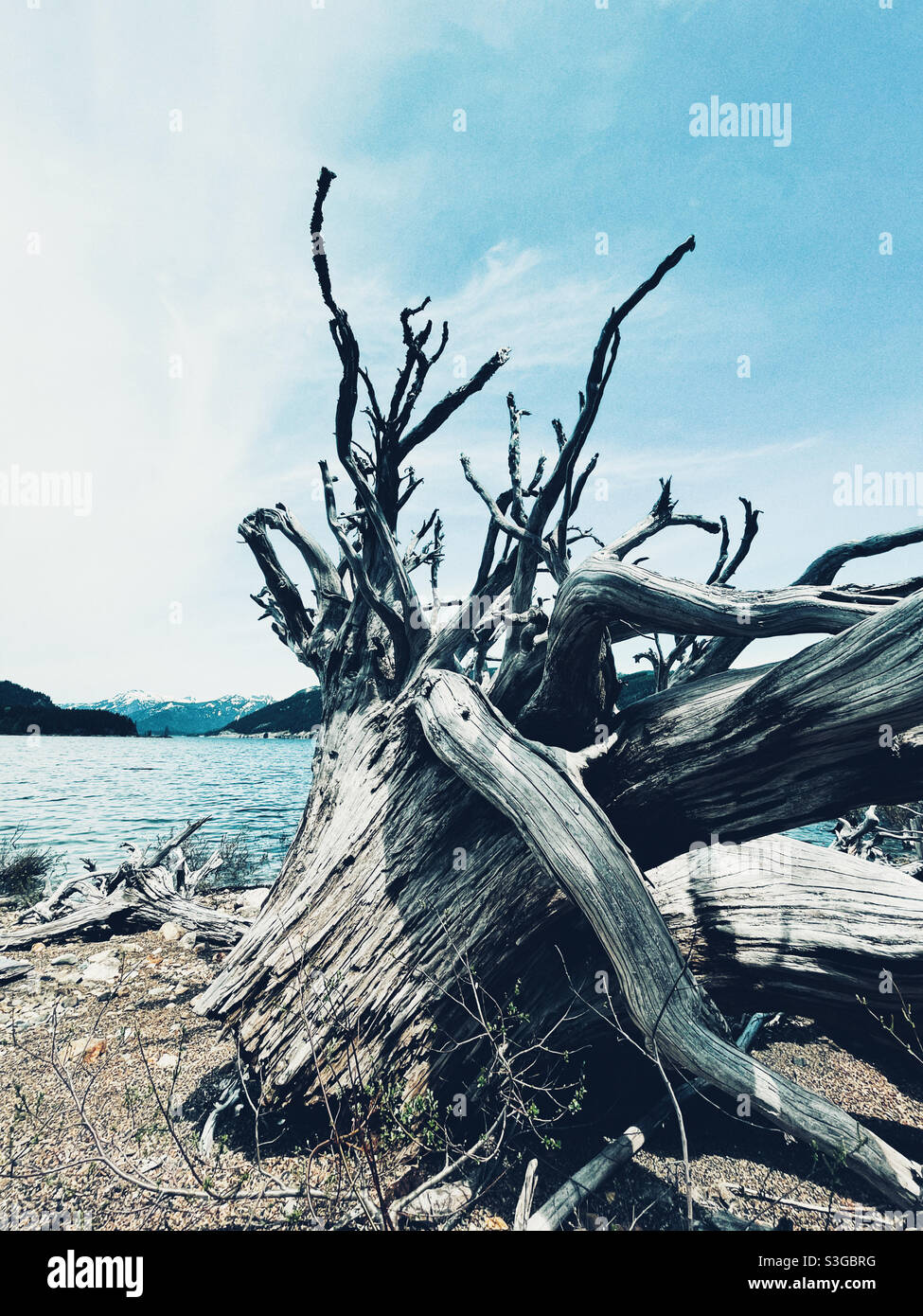 man made lake Kecheelus and remnants of big trees on the shore, Snoqualmie Pass, Washington state Stock Photo
