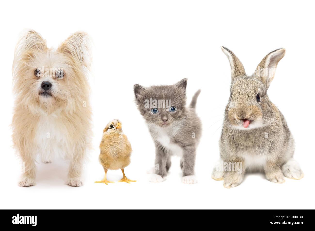 Dog chicken Kitten and rabbit on white background - Stock Image