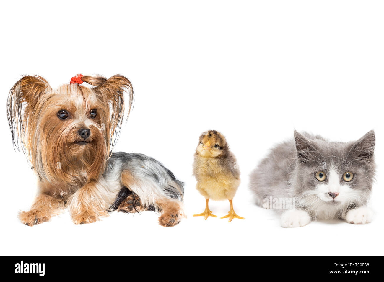 Dog, kitten and chick on white background - Stock Image