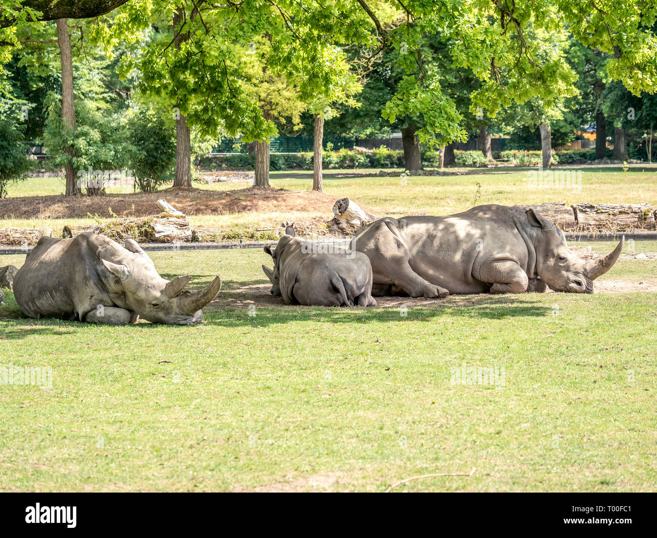 Image of three white rhiniceros in a zoo that lie in the shadow of trees and sleep - Stock Photo