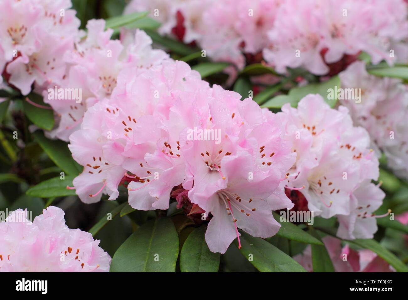 Rhododendron 'Christmas Cheer'. Blooms of early flowering rhododendron, 'Christmas Cheer' in an English garden -  late February, UK - Stock Image