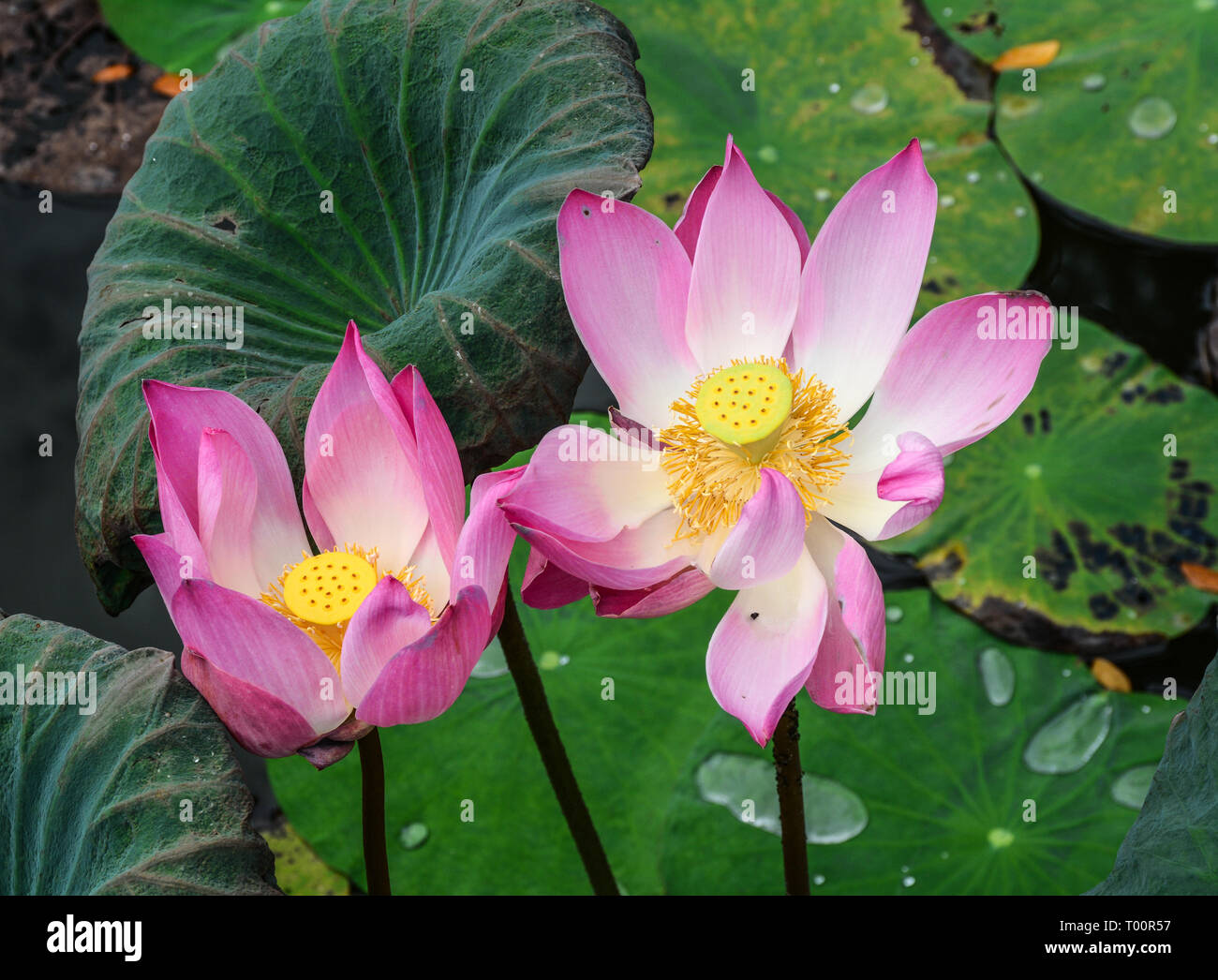 Lotus flowers blooming on the pond in spring time. Stock Photo