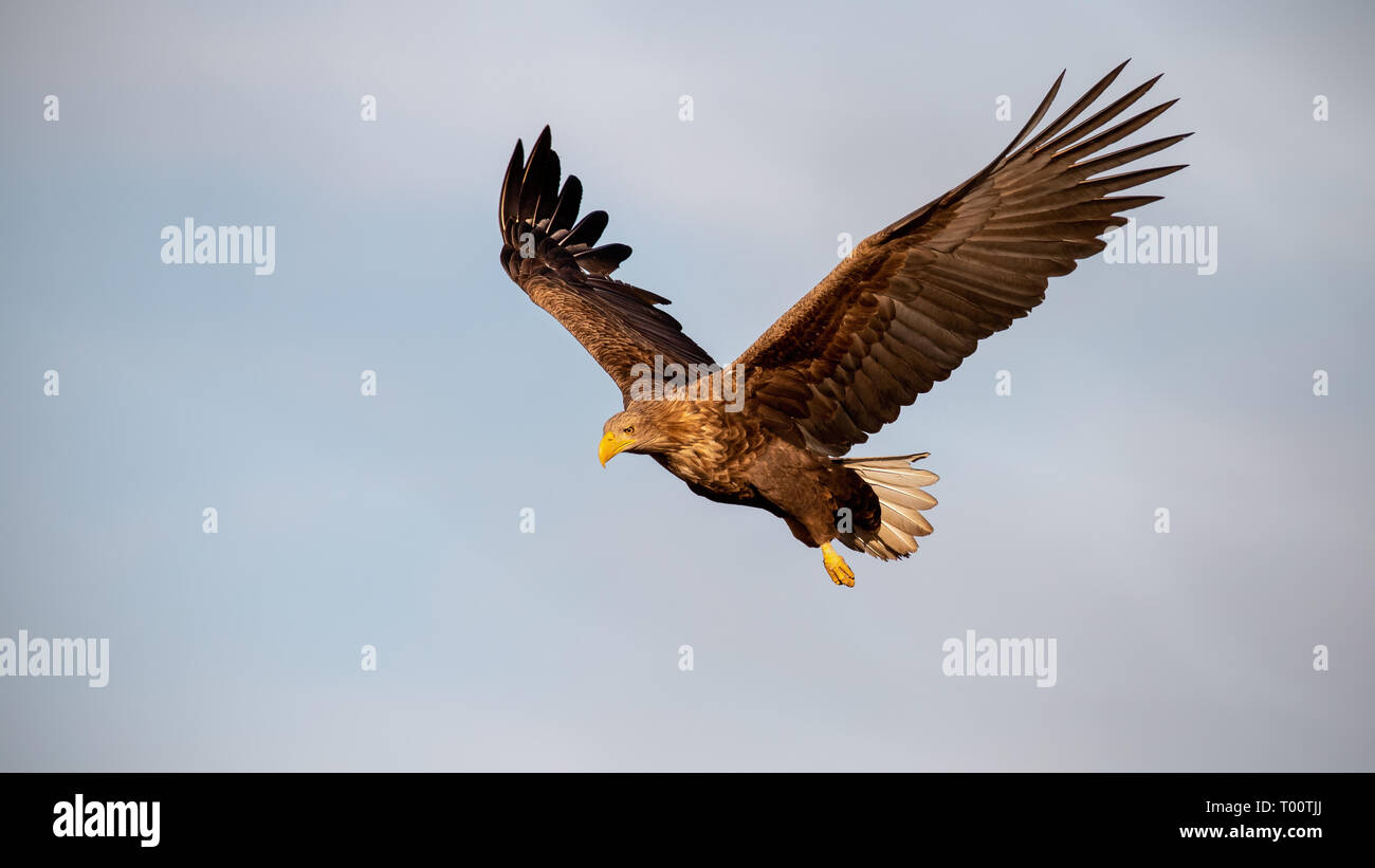 Adult white-tailed eagle, Haliaeetus albicilla, flying against sky with wings spread open looking down. Wild bird of prey in the air at sunset. Stock Photo