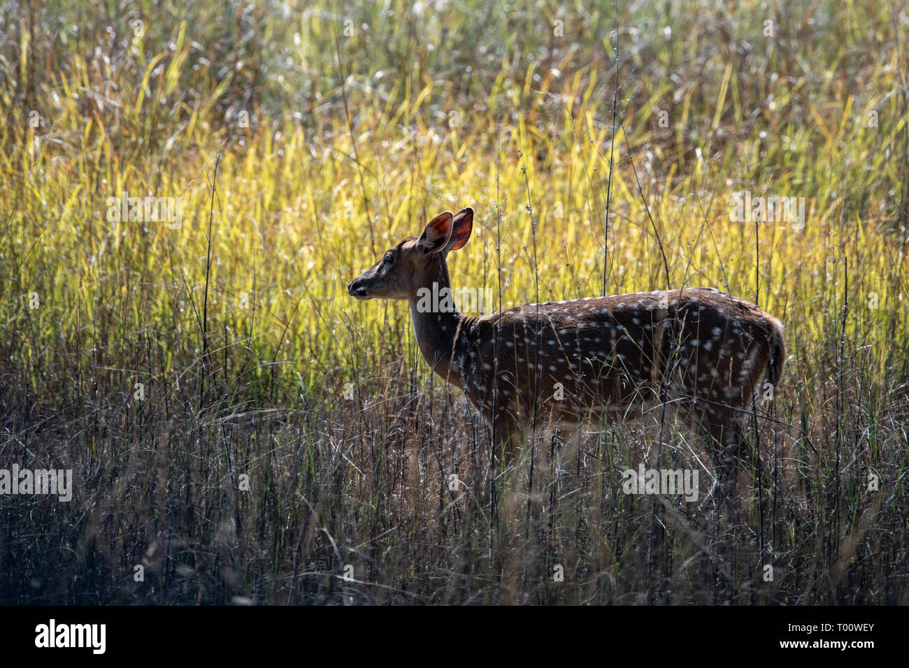 Chital (Axis axis) in India - Stock Image