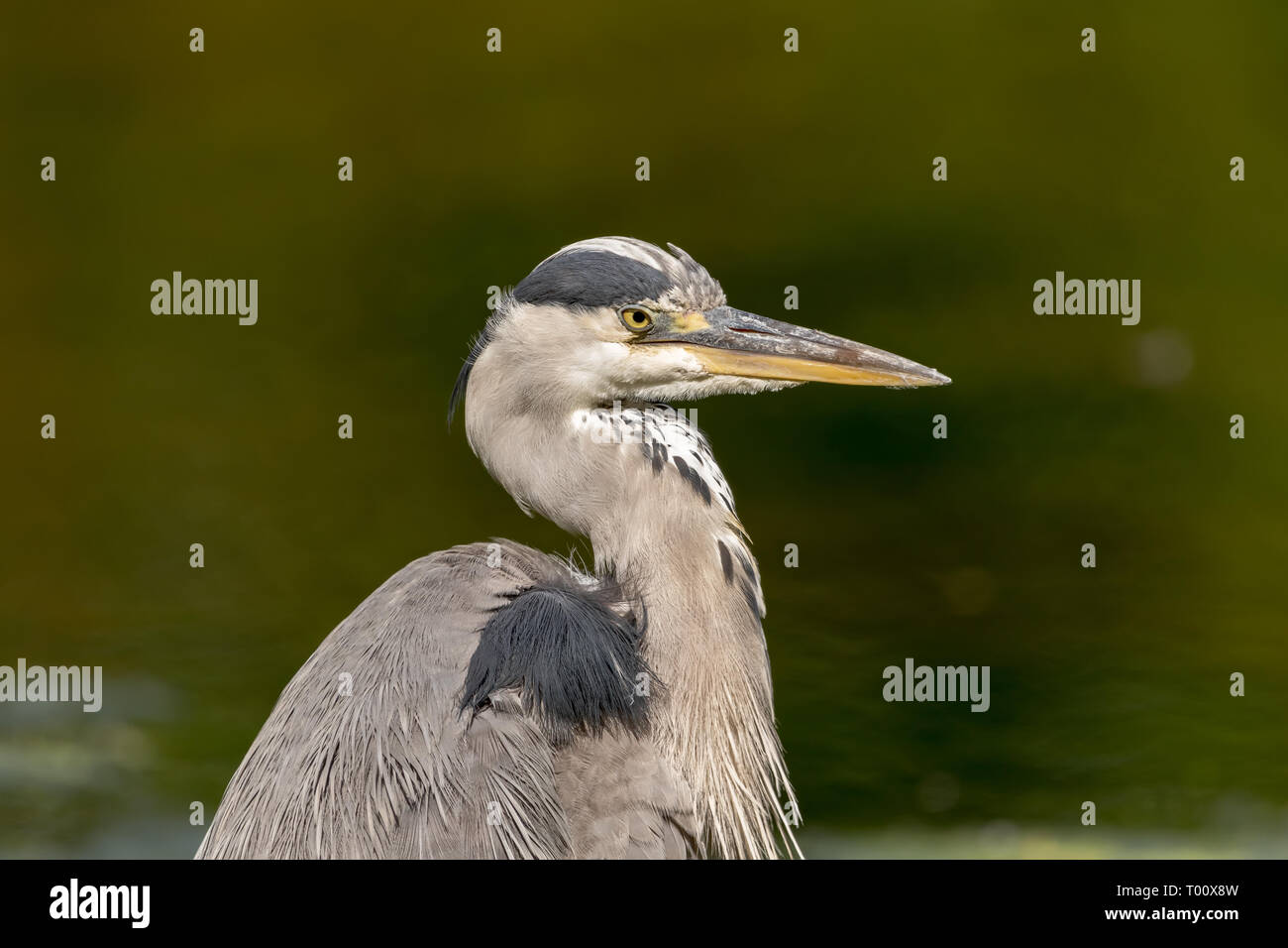 Confidence is key in succes. This grey heron certainly knows it. - Stock Image