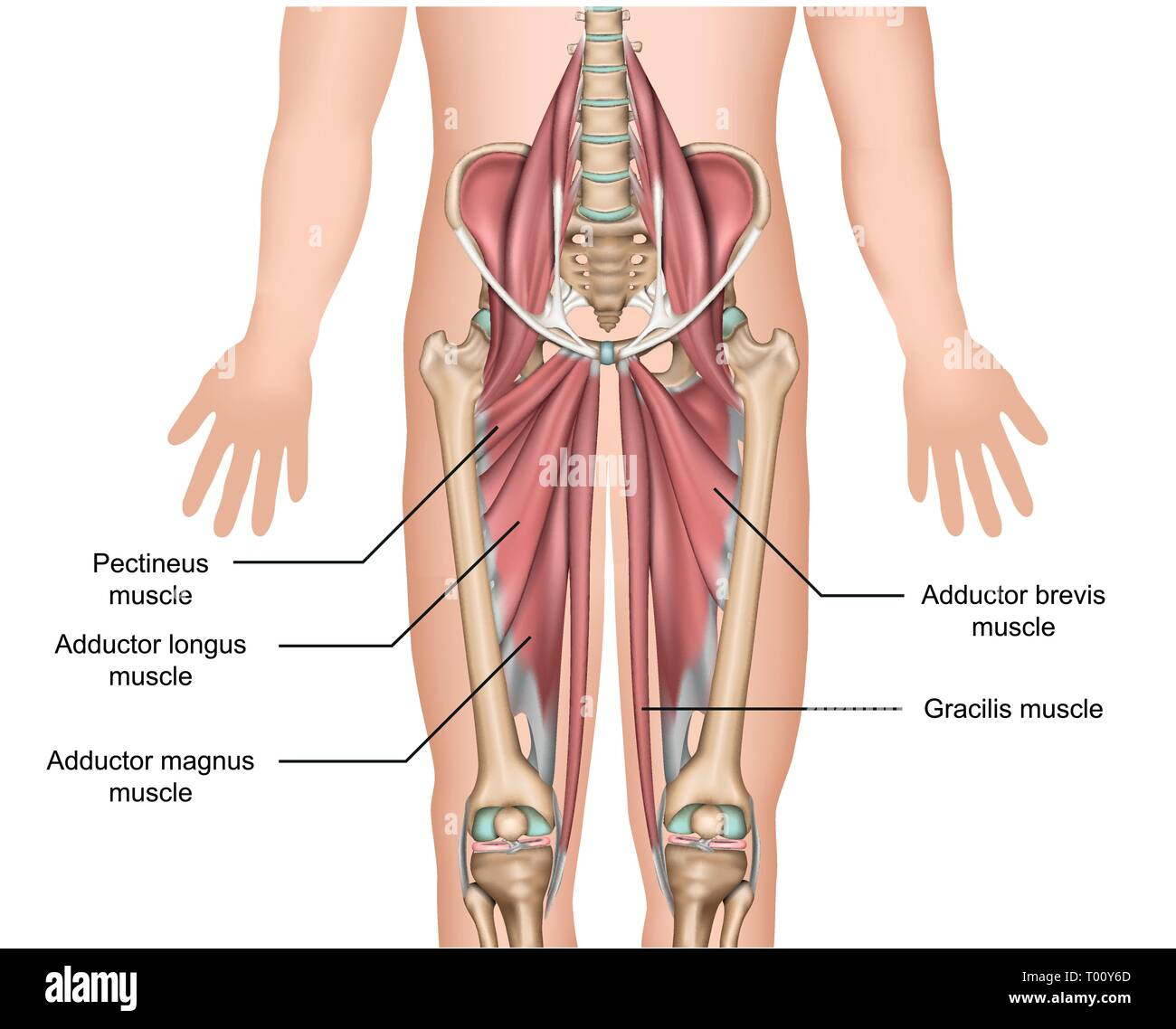 adductor muscles anatomy 3d medical vector illustration on white background - Stock Image