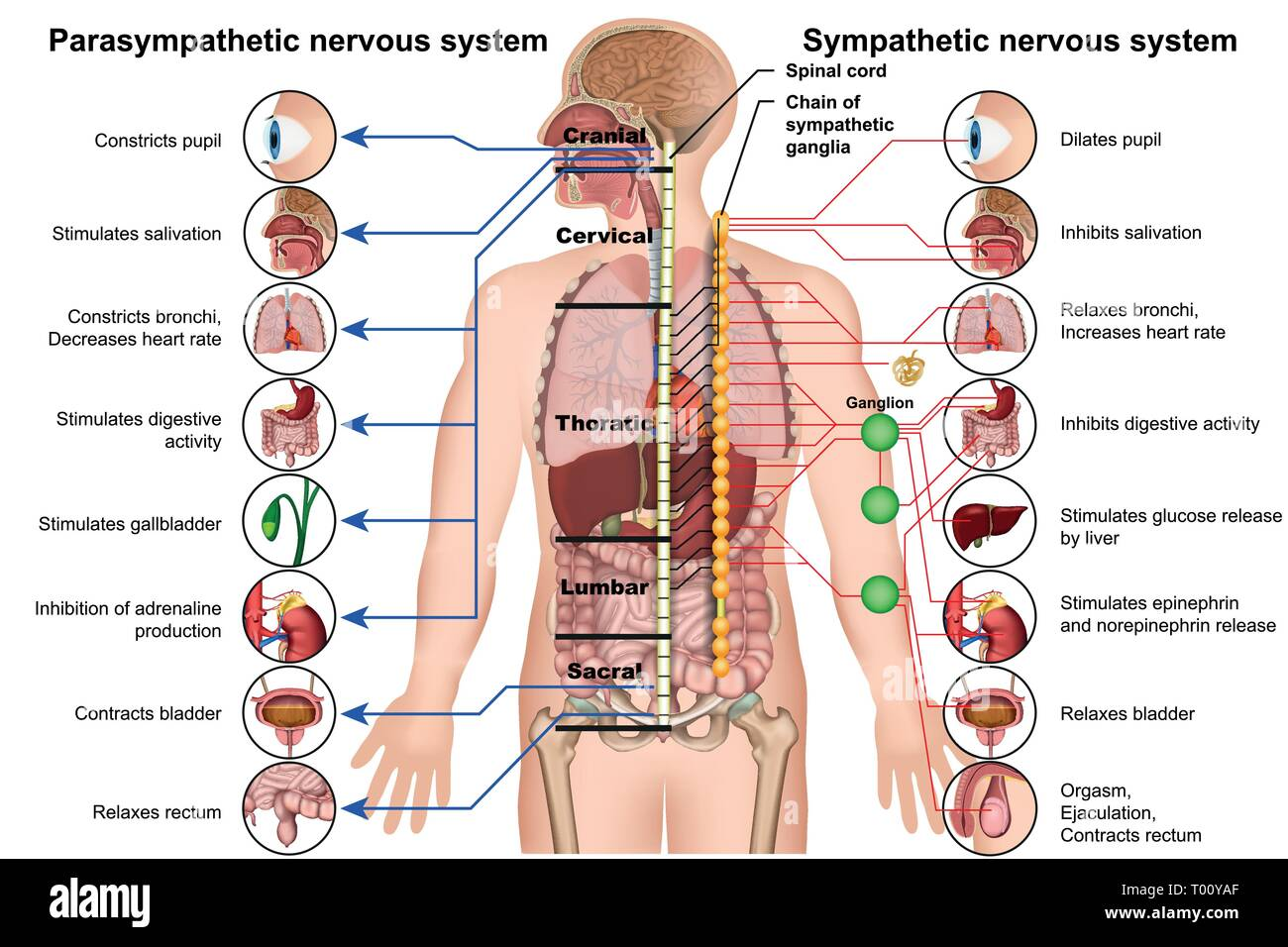 sympathetic and parasympathetic nervous system 3d medical vector illustration on white background - Stock Image