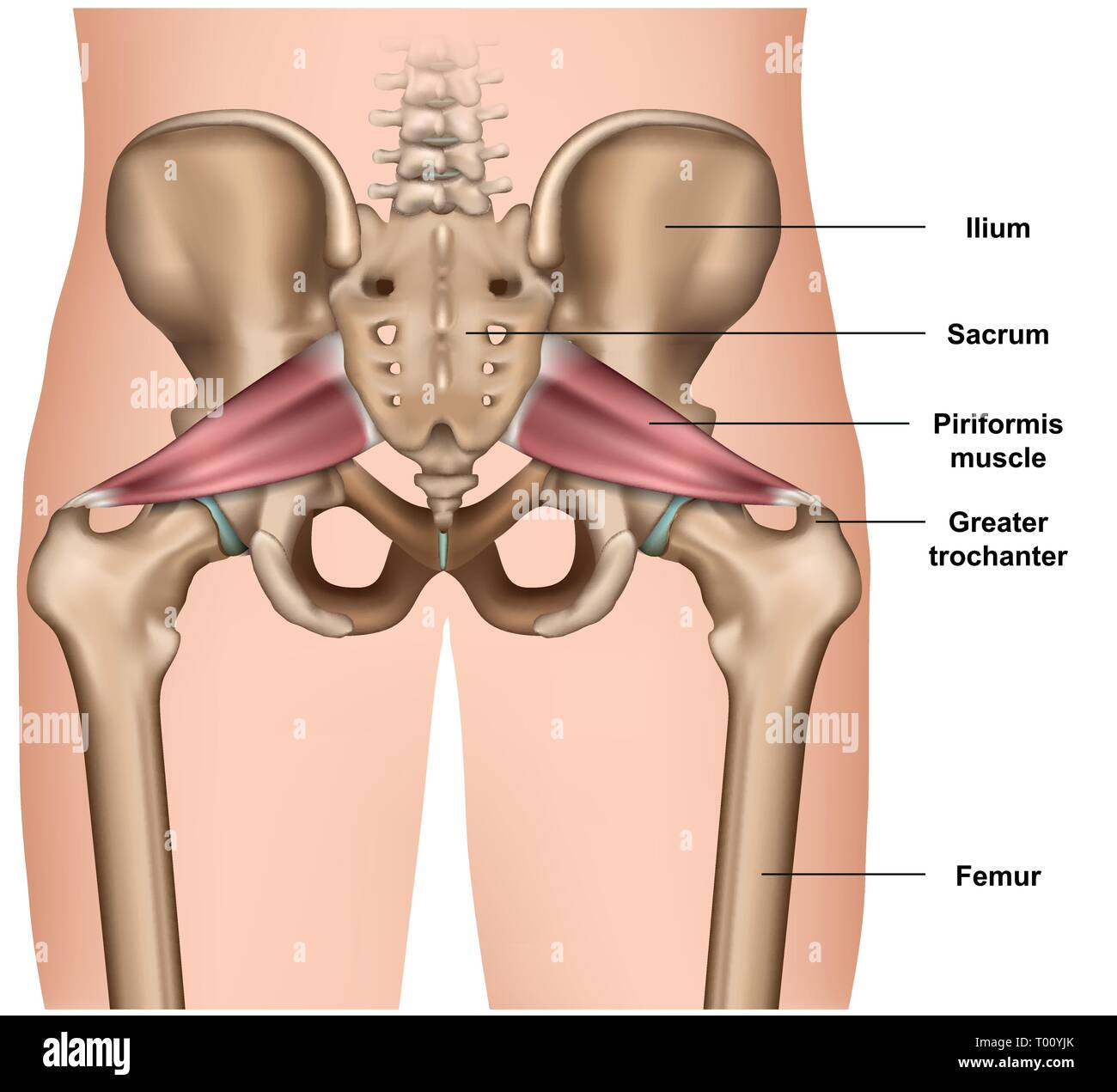 piriformis muscle 3d medical vector illustration on white background - Stock Image