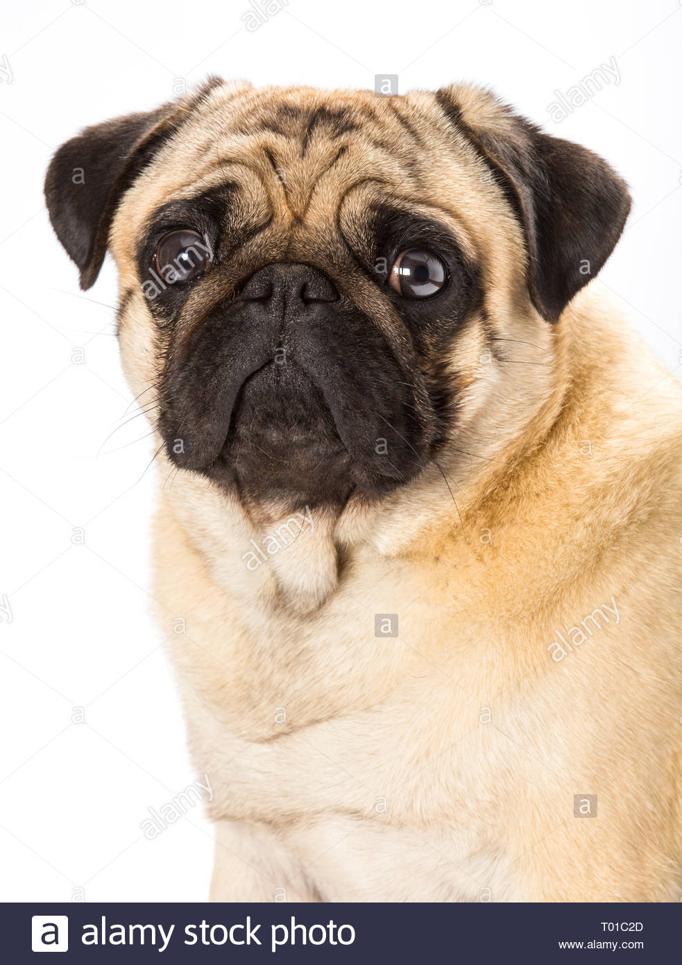 Pug dog breed, fawn colour. This dog breed originated in China around 2500 years ago. - Stock Image