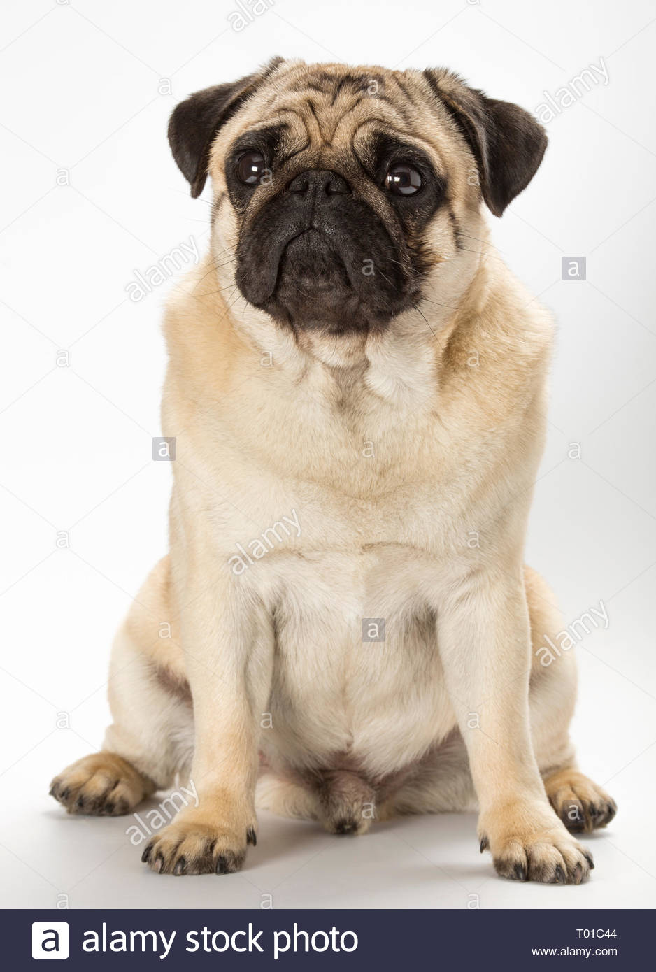 Pug dog breed, fawn colour. This dog breed originated in China around 2500 years ago. Stock Photo