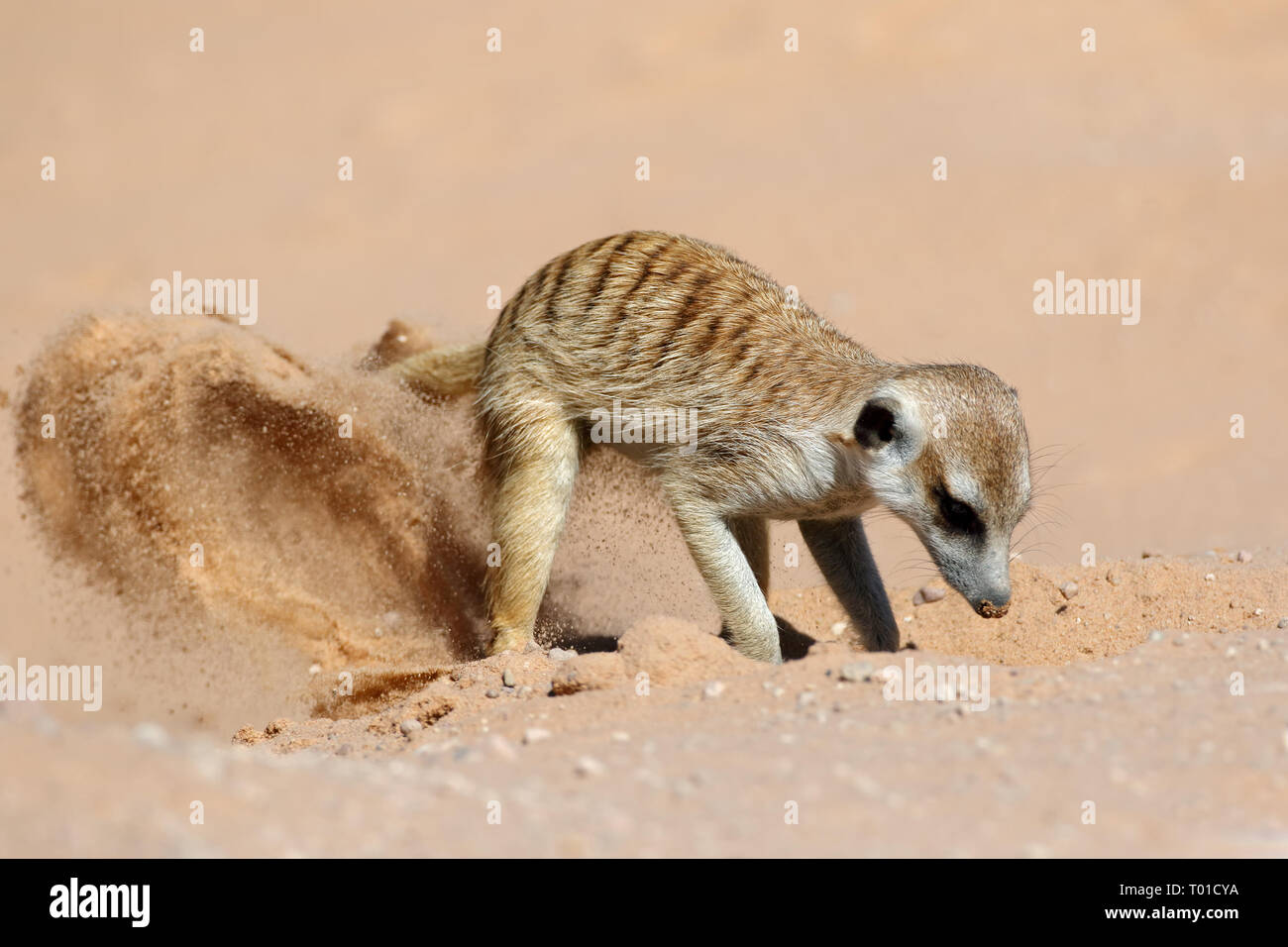 A meerkat (Suricata suricatta) foraging actively in natural habitat, Kalahari desert, South Africa - Stock Image