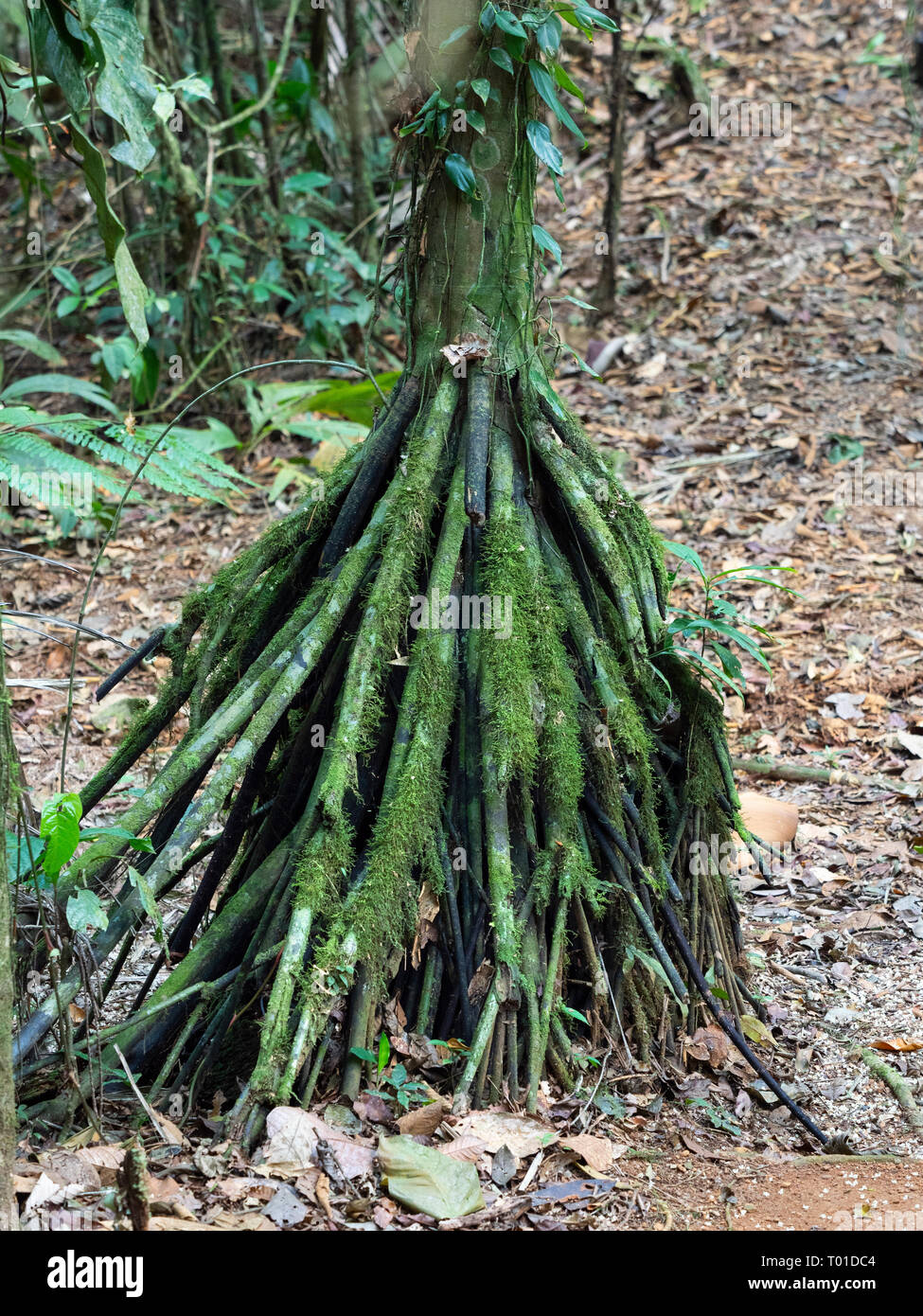 Walking palm or cashapona Socratea exorrhiza growing in clould forest Costa Rica - Stock Image
