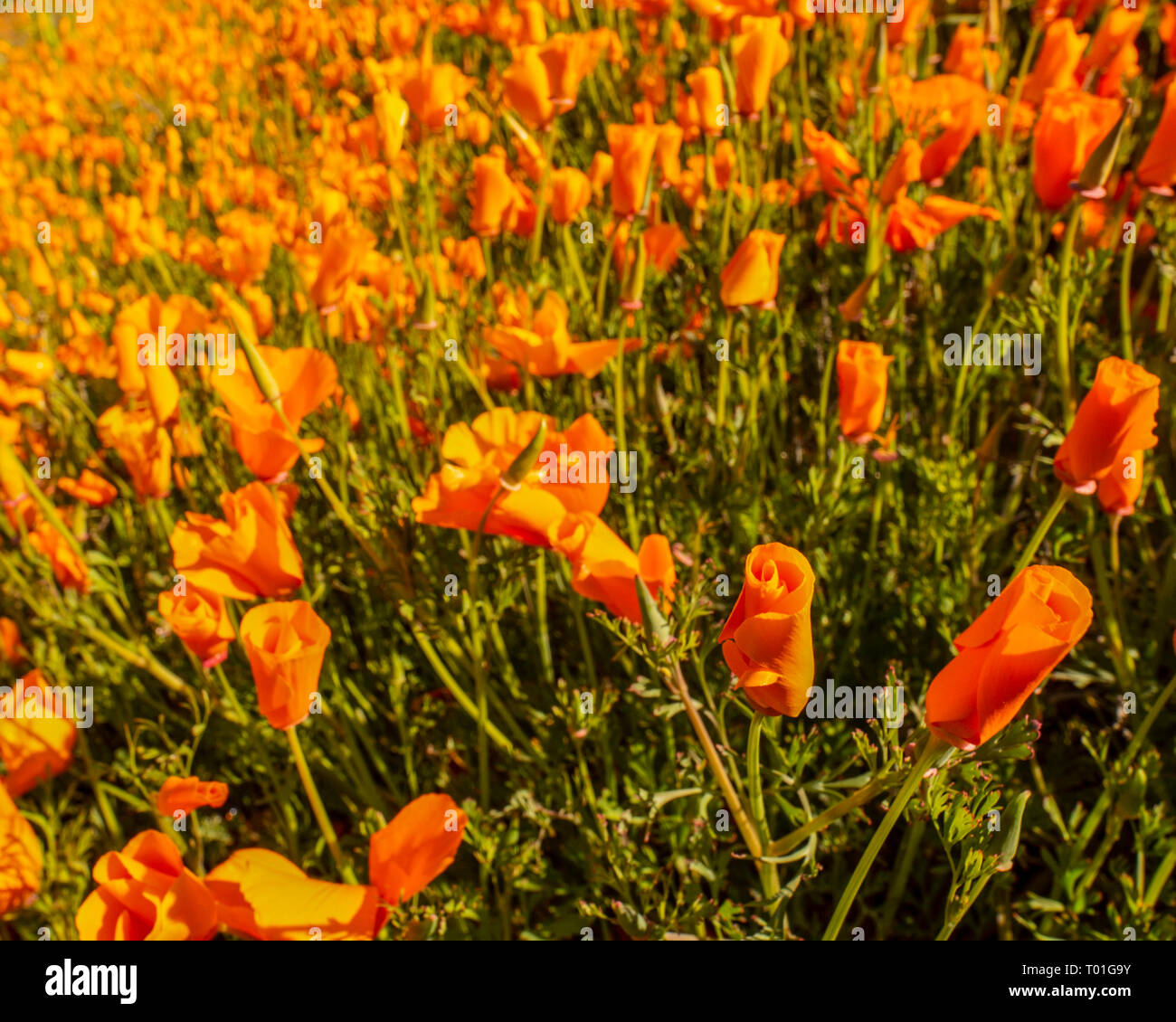 Wildflowers on the California Hills in the Superbloom - Stock Image