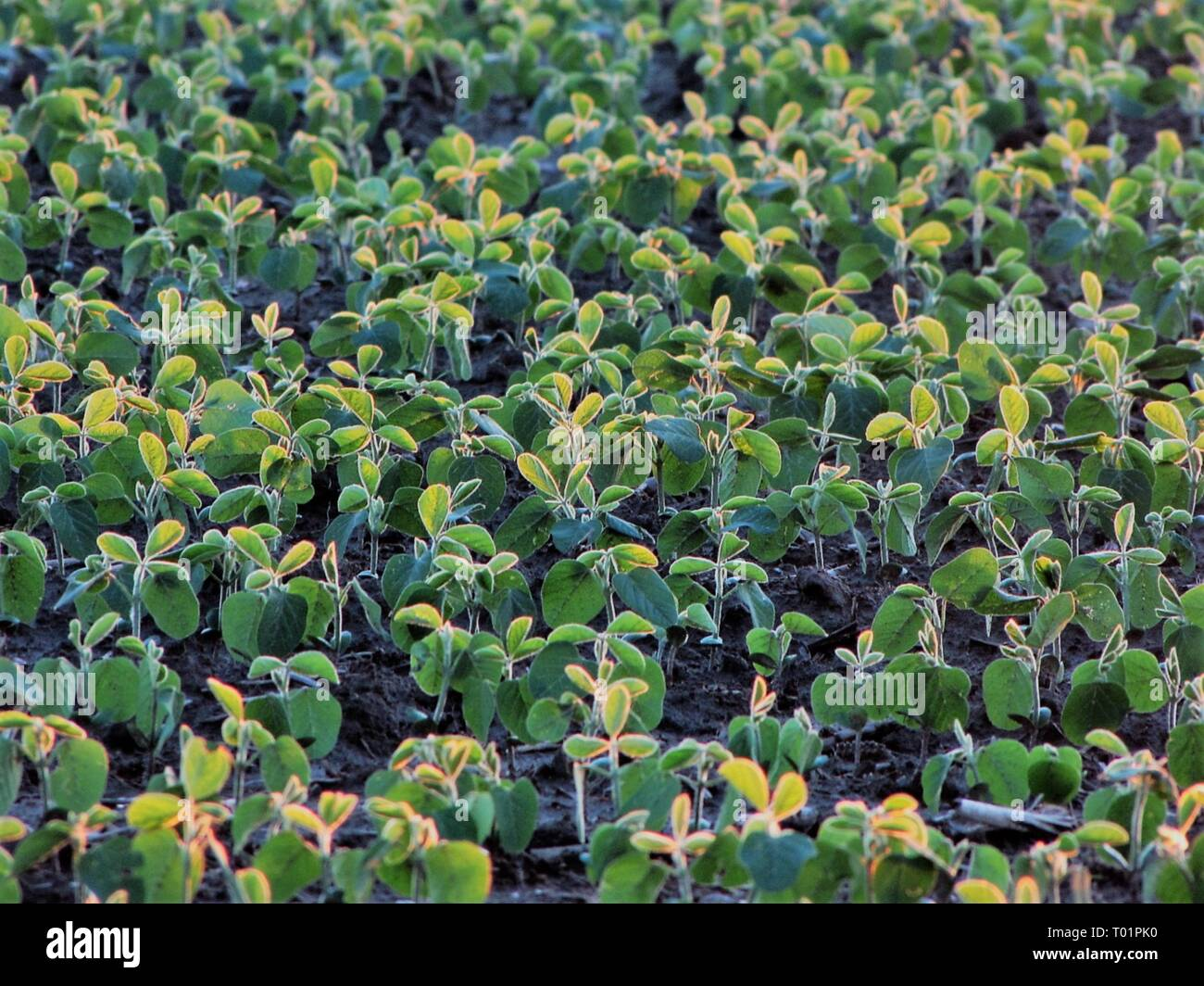 Closeup of young soybean plants in early summer field - Stock Image