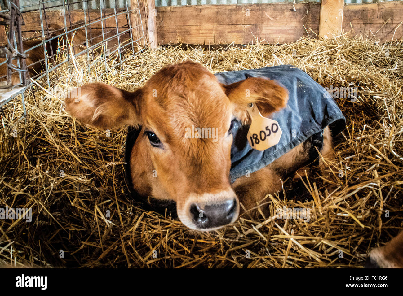 Young Jersey dairy calf staying warm inside calf barn during cool Illinois autumn, one of many on a 7 generation dairy farm - Stock Image