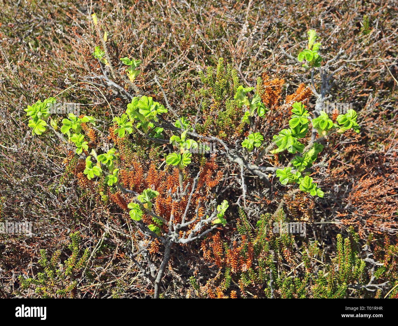 Young twigs of Ramanas rose and Black Crowberries in dune slack on the North sea island Sylt - Stock Image