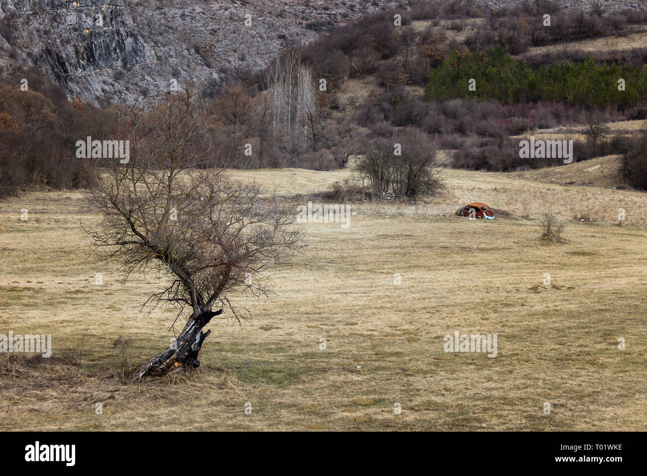 Black foreground tree with no leaves and abandoned rusty car in the middle of the grass field - Stock Image