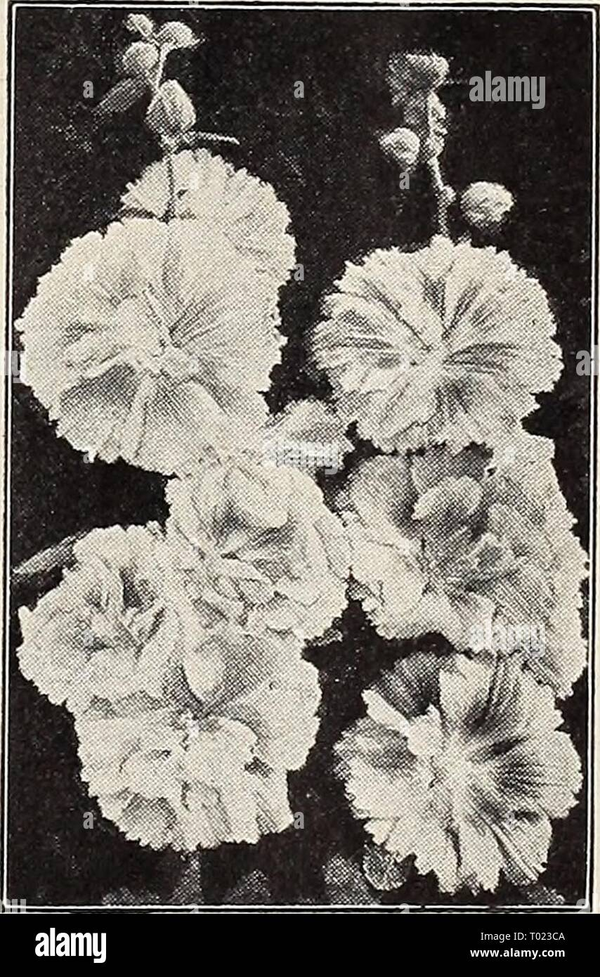 Dreer's garden book for 1941 . dreersgardenbook1941henr Year: 1941  Helichrysum—Strawflower    New Annual Hollyhock 2632 Indian Spring A very remarkable new annual Holly- hock, blooming 5 months after sowing. Has showy, semi-double, fringed pink flowers. Awarded Silver Medal All- America Selections, 1939. Easy to grow and highly recommended. Pkt. 15c; large pkt. 60c. Garden Guide The amateur gardener's handbook. Tells how to plan, plant, and maintain the home grounds; how to grow vegetables, fruits, flowers, etc. Postpaid for $2.00 ) = Annual; (§) = Biennial; |hhp| = Half-Hardy Perennial; |hp] - Stock Image
