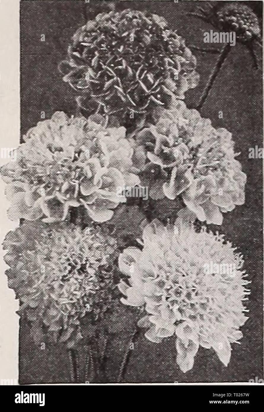 Dreer's garden book for 1940 . dreersgardenbook1940henr Year: 1940  Dreer's Reliable FLOWER SEEDS    Large-Flowering Scabiosa Mixed Stock Photo