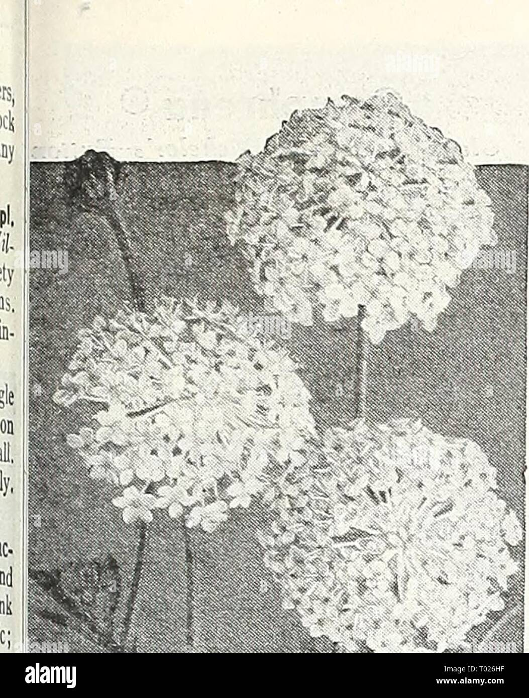 Dreer's garden book for 1947 . dreersgardenbook1947henr Year: 1947  Didiscus—Blue Lace Flower Didiscus Blue Lace Floiver @ 2311 Coeruleus. A very interesting and showy Australian annual bear- ing lacy, light lavender flower heads from July until frost. Excellent for borders and cutting. Grows IS inches high. Pkt. 10c; large pkt. 40c. Digitalis—Foxglove ® ® Handsome biennials producing state- ly flower spikes during June. i-S ft. Gloxiniaeflora 23 I 7 Purple. Pkt. 10c ; large pkt. 40c. 2318 Rose. Pkt. 10c; large pkt. 40c. 2319 White. Pkt. 10c; large pkt. 40c. 2320 Mixed Colors. Pkt. 10c; large  Stock Photo