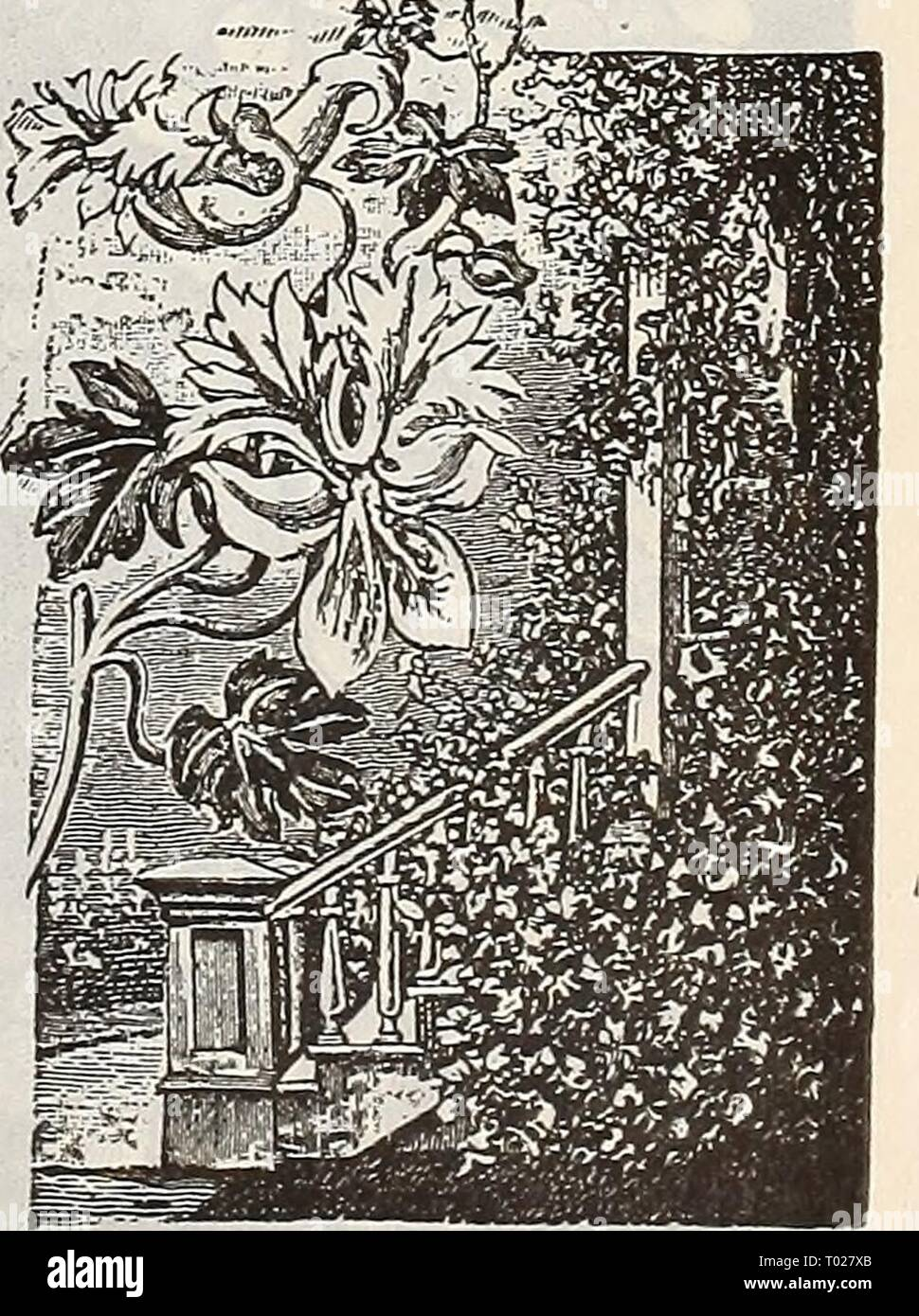 Dreer's garden calendar : 1900 . dreersgardencale1900henr Year: 1900  Calendula ' Mbtbor.' CACALIA. (Tassel Flower, or Flora's Paint Brush.) A neat annual, of easy culture, with tassel-shaped flowers; blooms from June to September; fine for borders. Golden-yellow and scarlet. 1^ feet. (See cut.) PER PKT. 1650 Cacalia, Mixed. Per oz. 50 cts 5 CANARY-BIRD FLOWER. (Tropaeoluni Canariense.) 1741 A beautiful climber, the charming little canary- colored blossoms bear- ing a fancied resem- blance to a bird with its wings half expanded. (See cut.) 5    Canary-Bird Flower. - Stock Image