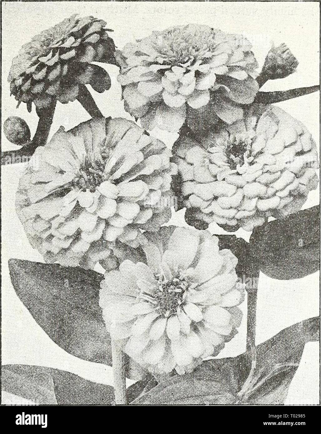 Dreer's garden book for 1947 . dreersgardenbook1947henr Year: 1947  Virginian Stocks Virginian Stocks ® Malcotnia maritiina 4444 Mixed. This old-fashioned hardy annual blooms profusely during late spring and summer. Of easiest cul- ture. Grows about a foot tall and bears lovely, richly fragrant blooms in white, red, rose, and lilac shades. Pkt. 10c; ^ oz. 2Sc; ^^ oz. 40c. Wallflower [hhp] Cheiranthus Cheiri Magnificent flowers noted for the rich color of their blooms. They have a pleasing fragrance and bloom during 2arly spring. Requires protection where winters are cold. 18 to 24 inches tall. - Stock Image