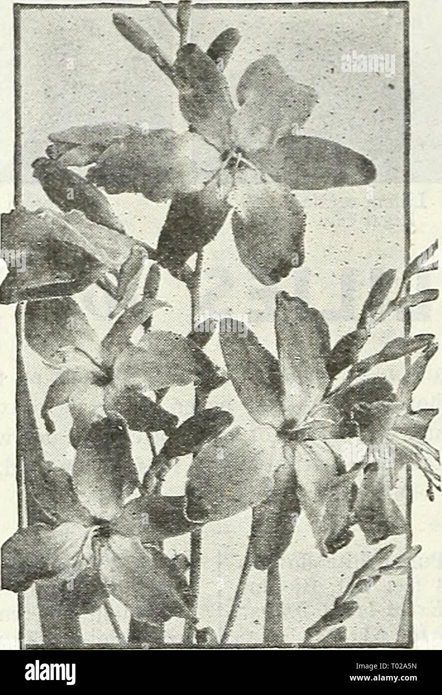 Dreer's garden book for 1947 . dreersgardenbook1947henr Year: 1947  Ismene—Peruvian Daffodil Ismene Peruvian Daffodil 47-082 Calathina. Large, fragrant, Amaryllis-lilce white blooms with apple-green markings in the throat. Very easy to grow in a well-drained rich soil fully exposed to the sun. Take up before fall frost. 40c each; 3 for $1.00; 12 for S3.75. Ranunculus ^ ® Showy plants delighting in a cool, moist situation and doing particularly well in a shady spot and moderately rich soil. 40-848 All-Double Giant Mixed. Includes a remarkably fine and ex- tensive color range. 3 for 35c; 12 for  - Stock Image