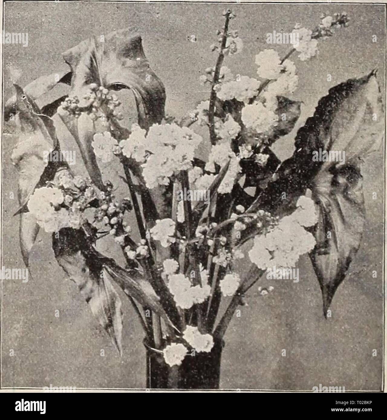 Dreer's garden calendar : 1899 . dreersgardencale1899henr Year: 1899  Ouvirandra Fenestralis. fliSCellaneOUS AquatiCS.—Hardy Varieties. Acorus Japonica Variegata (Variegated Sweet Flag). The foliage of this plant is beautifully striped with white. It grows well in moist soils. One of the finest variegated plants in cultivation. 25 cts. each ; $2-50 per doz. Acorus Gramineus Variegatus. Dwarf growing, with leathery leaves, beautifully margined with white ; a handsome plant for margins or pot culture. 20 cts. each. Brasenia Peltata (Water Shield). A very pretty plant, suitable for aquariums or e - Stock Image