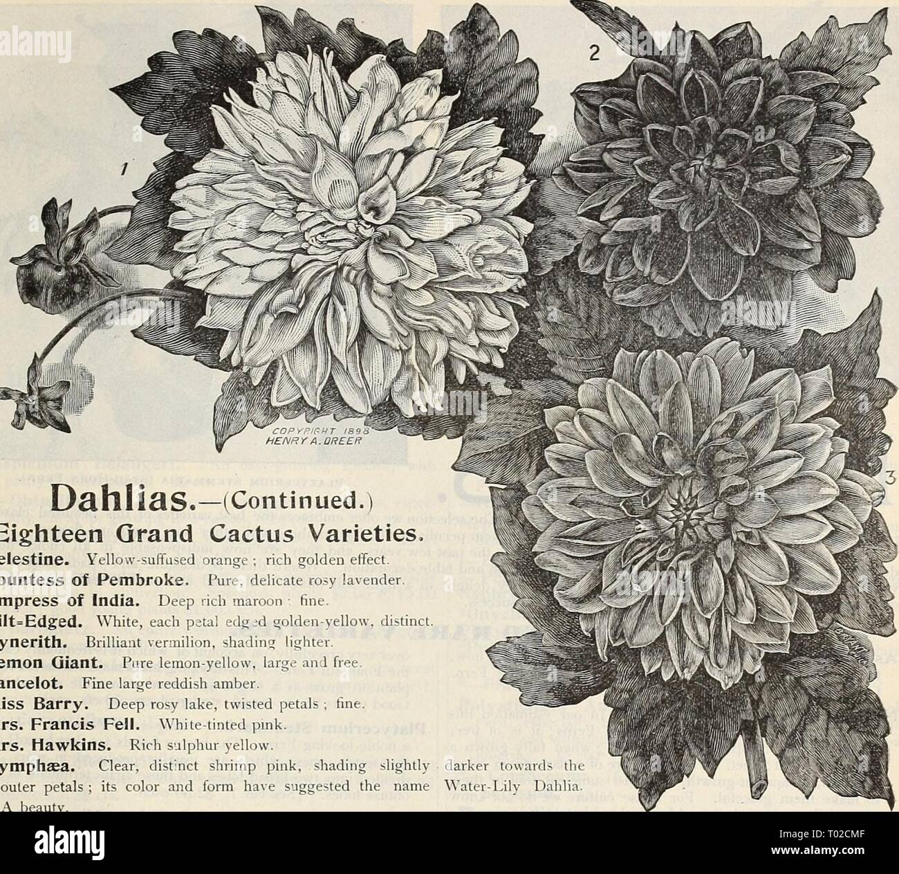 Dreer's garden calendar : 1899 . dreersgardencale1899henr Year: 1899  GARDEN AND GREENHOUSE PLANTS. 117    Dahlias. Eighteen Grand Cactus Varieties, Celestine. Yellow-suffused orange ; rich golden effect. Countess Of Pembroke. Pure, delicate rosy lavender. Empress Of India. Deep rich maroon : fine. GiIt=Edged. White, each patal edgid golden-yellow Kynerith. Brilliant vermilion, shading lighter. Lemon Giant. Pure lemon-yellow, large and free. Lancelot. Fine large reddish amber. Miss Barry. Deep rosy lake, twisted petals ; fine. Mrs. Francis Fell. White-tinted pink. Mrs. Hawkins. Rich sulphur ye - Stock Image