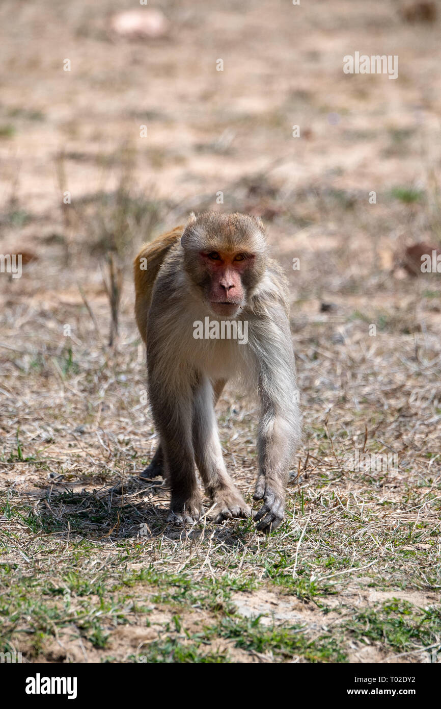 Rhesus Macaque (Macaca mulatta) of India - Stock Image