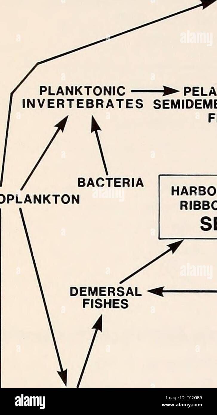 The Eastern Bering Sea Shelf : oceanography and resources / edited by Donald W. Hood and John A. Calder . easternberingsea00hood Year: 1981  820 Marine mammals PELAGIC NEKTONIC INVERTEBRATES PLANKTONIC ► PELAGIC & INVERTEBRATES SEMIDEMERSAL FISHES    PHYTOPLANKTON i HARBOR, SPOTTED RIBBON, RINGED SEALS MACRO IN- AND EPIFAUNAL -^ JNVERTEBRATES •NEKTOBENTHONIC INVERTEBRATES n MICRO IN- AND EPIFAUNAL INVERTEBRATES DETRITUS BACTERIA Figure 49-2. Generalized food web for harbor, spotted, ribbon, and ringed seals in the Bering Sea. BEARDED SEALS Stock Photo