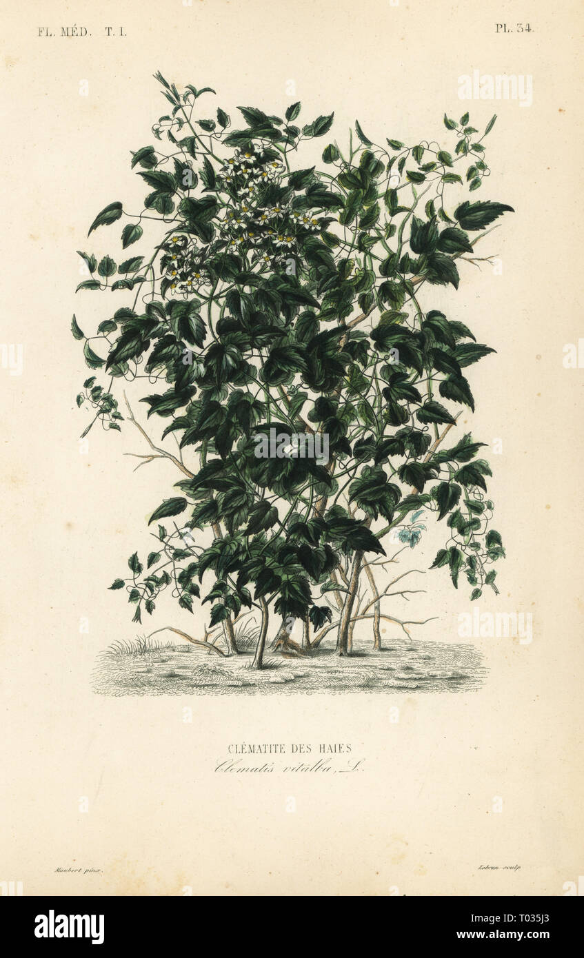 Olld man's beard and traveller's joy, Clematis vitalba, Clematite des haies. Handcoloured steel engraving by Lebrun after a botanical illustration by Edouard Maubert from Pierre Oscar Reveil, A. Dupuis, Fr. Gerard and Francois Herincq's La Regne Vegetal: Flore Medicale, L. Guerin, Paris, 1864-1871. - Stock Image