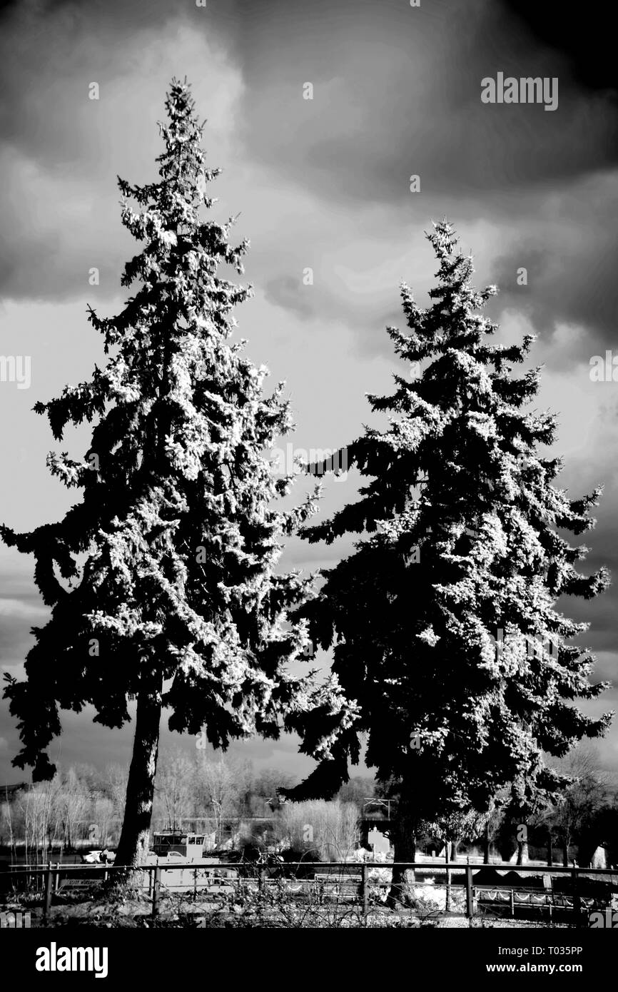 Dark rain clouds with light breaks in front of two fir trees. - Stock Image