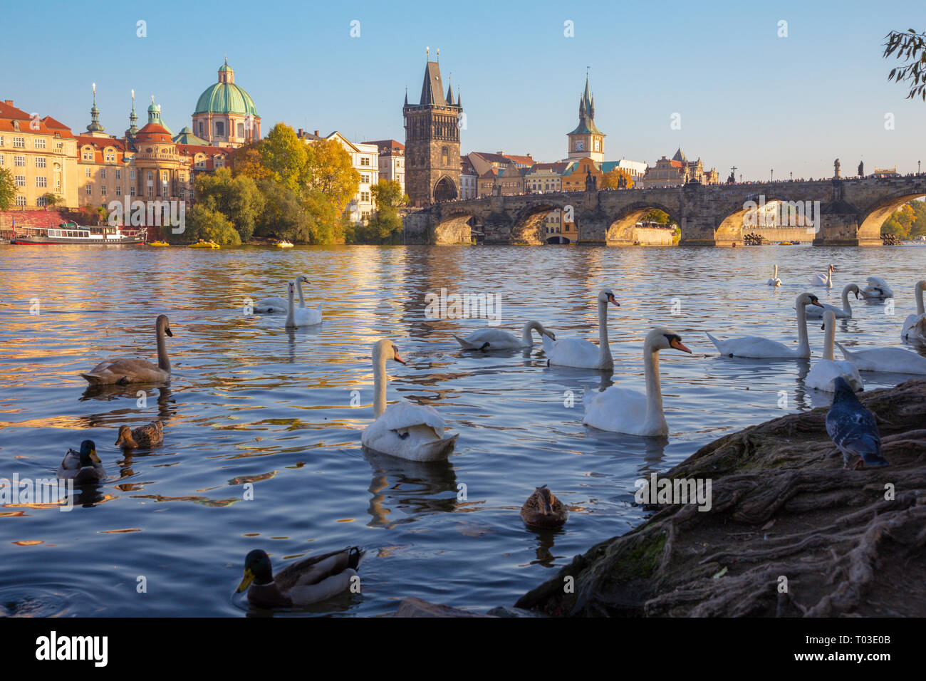 Prague - The Charles bridge and the swans on the Vltava river. - Stock Image