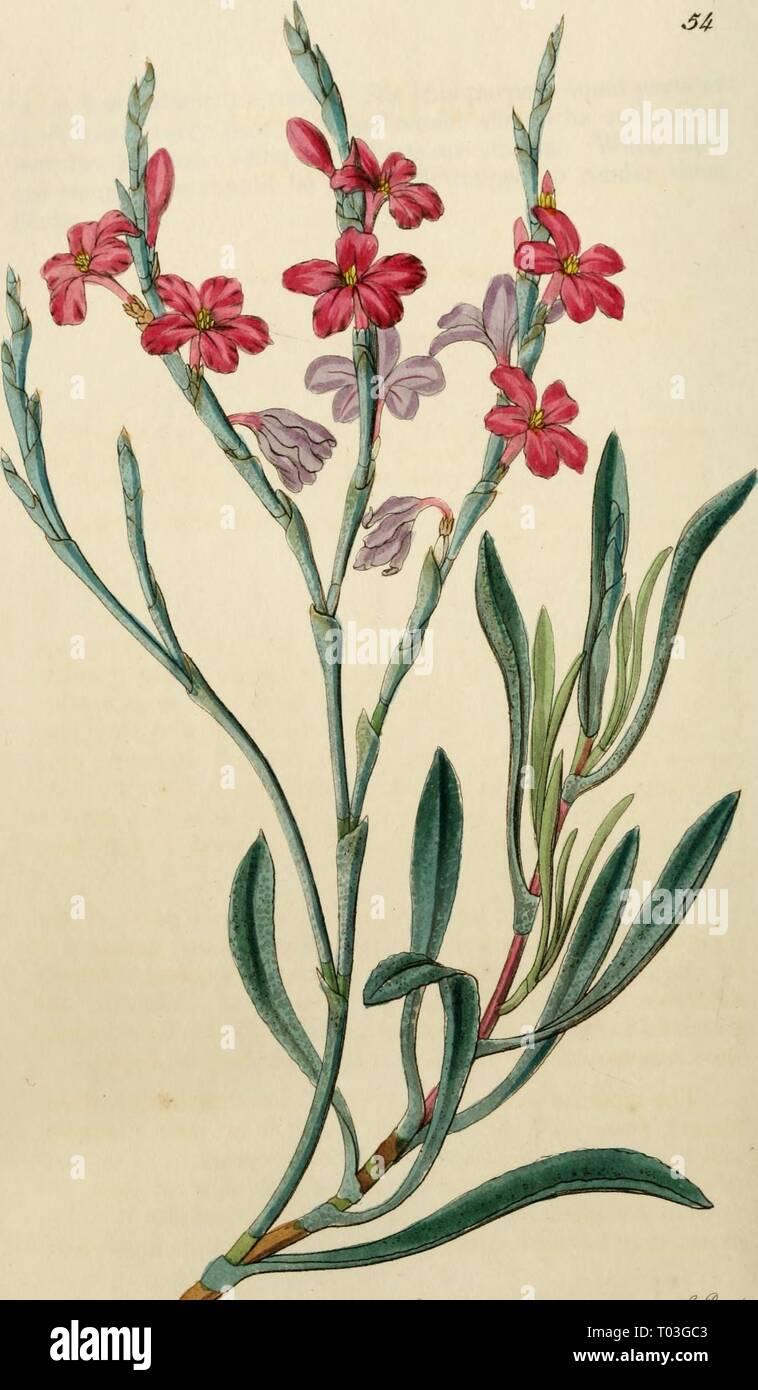 Edwards' botanical register, or, Ornamental flower-garden and shrubbery .. . edwardsbotanical27edwa Year: 1829-1847  *tt£>**Ud*i' nartyffaefynyr'ty ^m, o^ f. mf £ aai:{a.y 4» - Stock Image