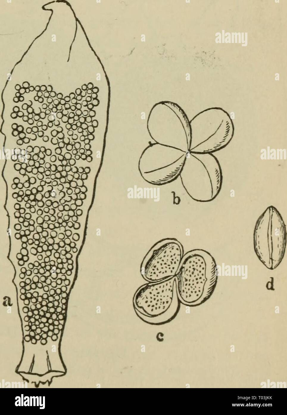 Elementary botany . elementarybotany00atki Year: 1898  Fig. 279. Macrosporangium ot Cycas revoluta Fig. 280. Roentgen photograph of same, show- ing female prothallium. sporophyte. Archegonia are developed in this internal mass of cells. This aids us in deter- mining that it is the prothal- lium. In cycas it is also called endosperm, just as in the pines. 430. If we cut open one of the mature ovules, we can see the en- dosperm (prothallium) as a whitish mass of tissue. Immediately sur- rounding it at maturity is a thin, papery tissue, the remains of the nucellus (macrosporangium), and outside o Stock Photo