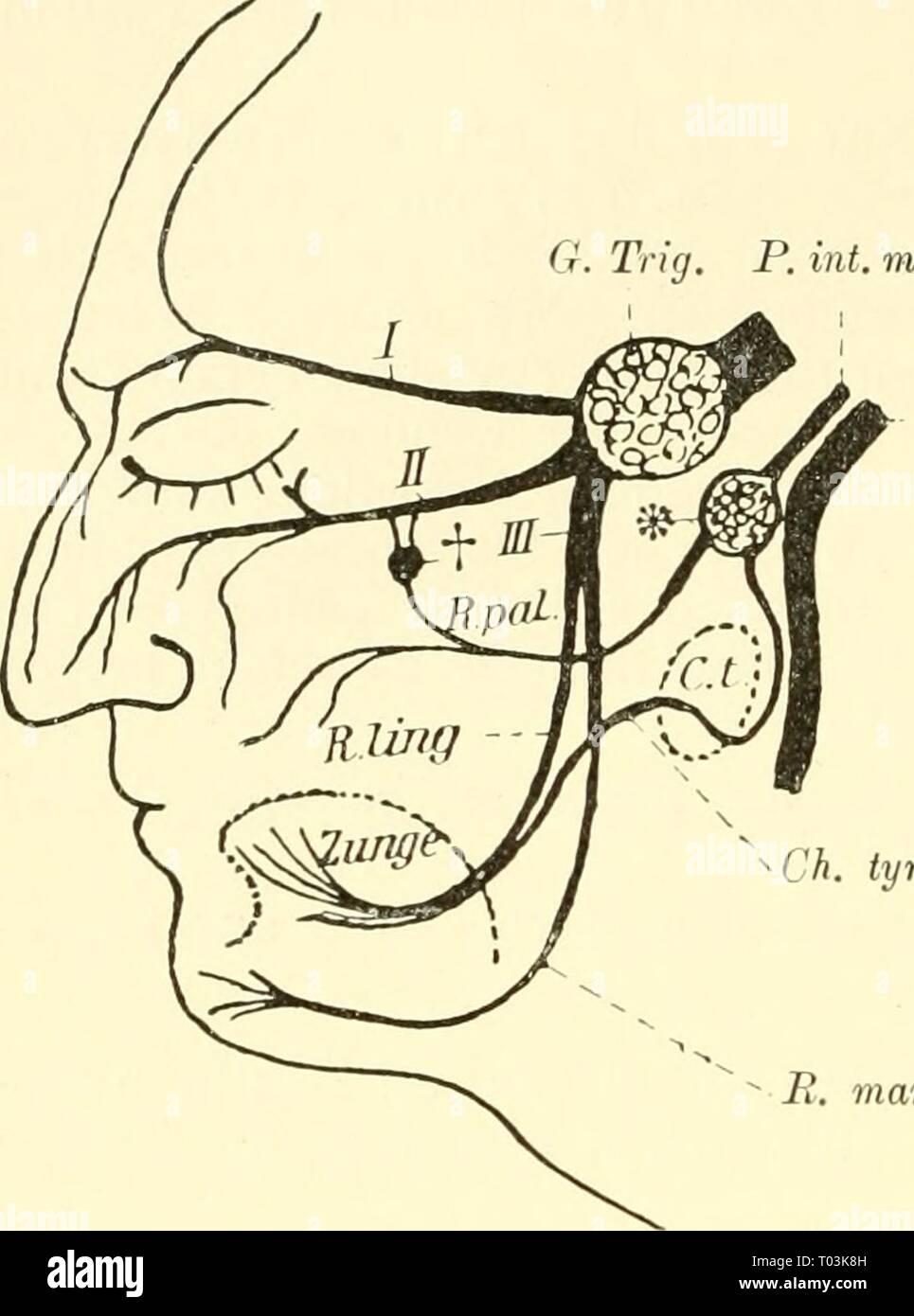 Einführung in die vergleichende Anatomie der Wirbeltiere, für Studierende . einfhrungindie00wied Year: 1907  218 Gehirnnerven,    VII IL Aus einem R. palatinus^), welcher mit dem R. maxillaris trigemini V^erbindungen eingehen kann, an der Gamnenschleira- haut sich verbreitet, und zweitens aus der Chorda tympani. Dieser Nerv, welcher einem R. post- trematicus der Kiemen- bogennerven (s. diese) ent- spricht, verläuft dicht an der medialen Seite des Un- P. mot terkiefers und begibt sich VII dann zur Rachen-, bezw. Mundschleimhaut. (Vorde- rer Bezirk des Mundhöhlen- bodens ^). Beide Nerven, we Stock Photo