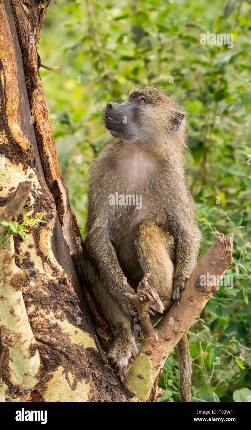 Female Olive Baboon, Papio anubis, in Lake Manyara National Park, Tanzania - Stock Image