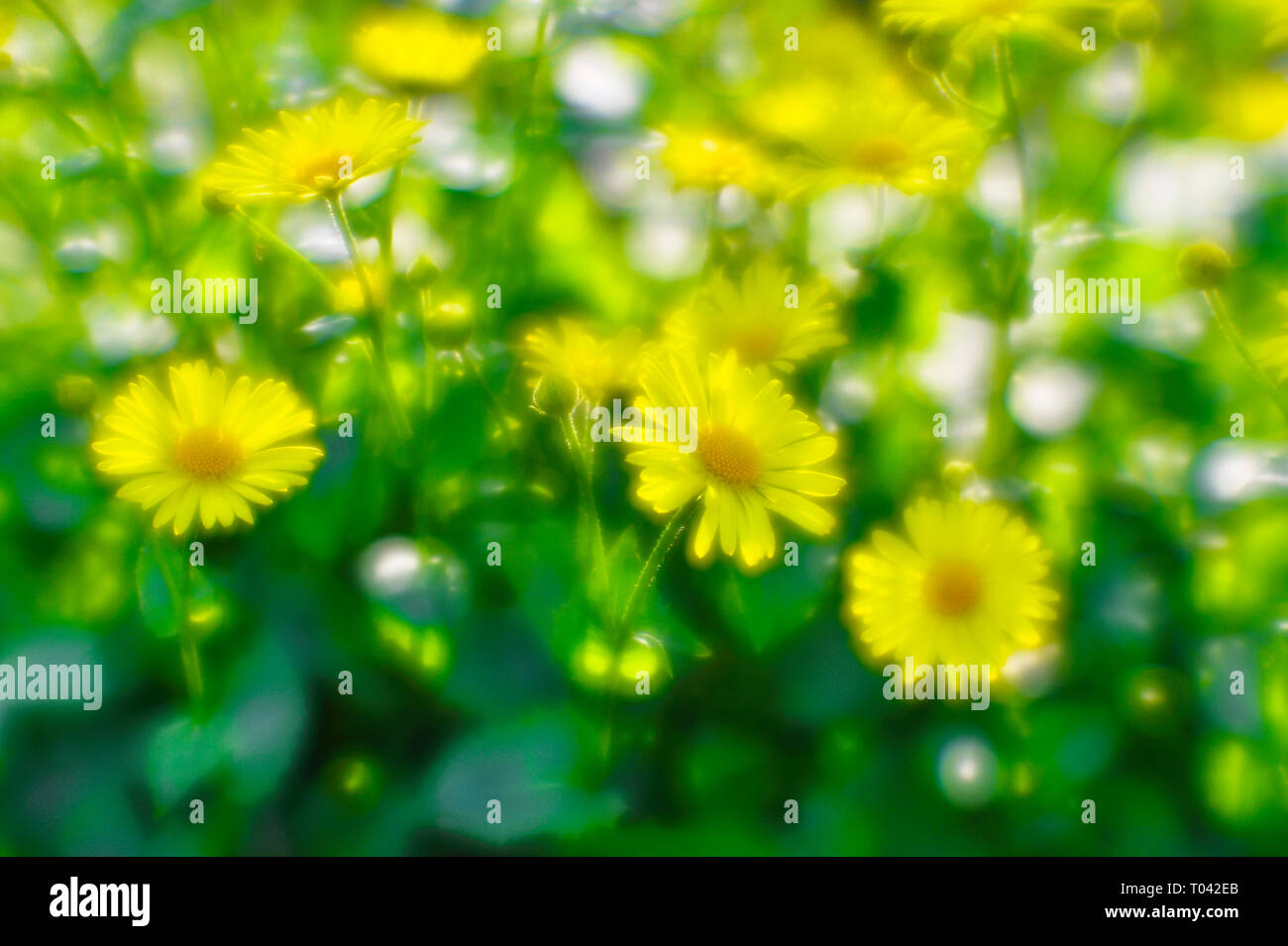 Bush yellow daisies doronikum on the garden bed. The photo was taken on a soft lens. Blurring art. - Stock Image