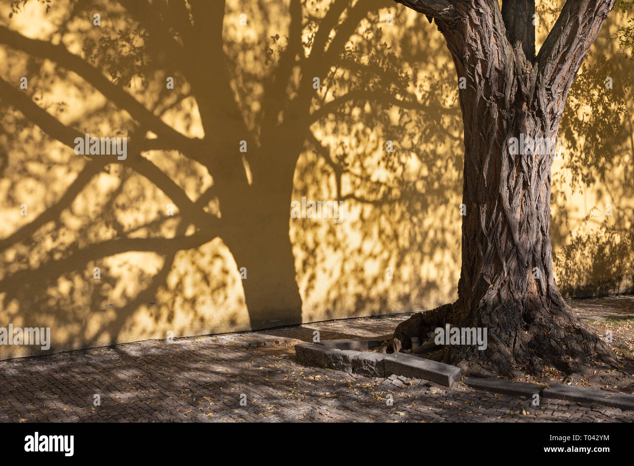 Prague - The shadows of acacias for the wall of Capuchins cloister. - Stock Image