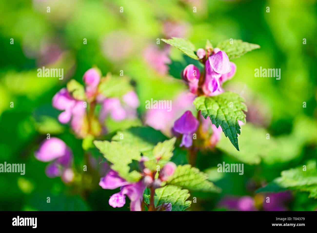 Purple flowers family spongy, dead-nettle. Shallow depth of field. - Stock Image