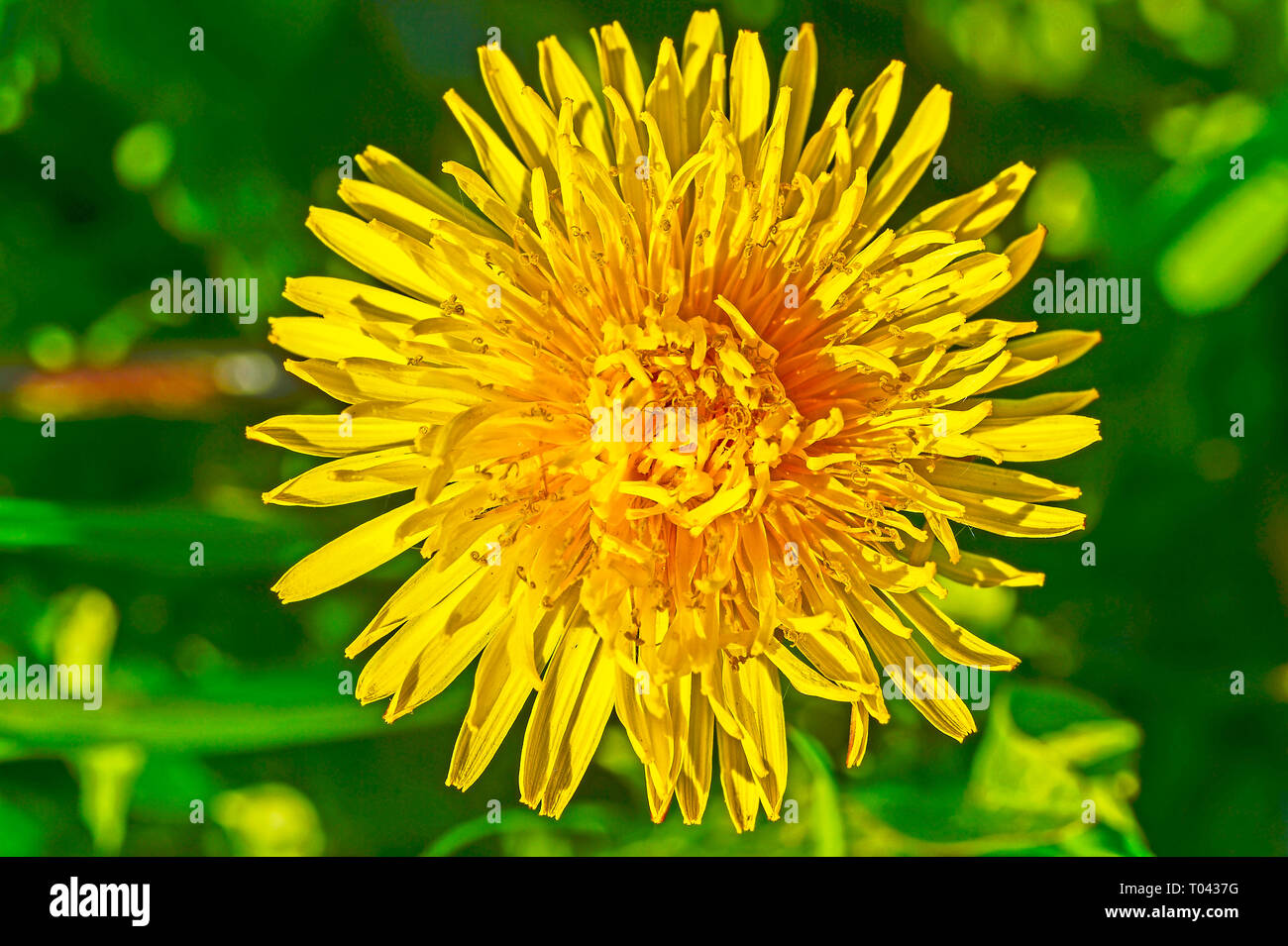 Yellow dandelion flower close up by day in bright sunlight. Background. - Stock Image