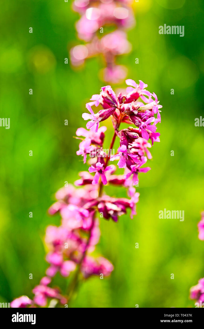 Decorative flowering garden plant tar ordinary. Background. - Stock Image