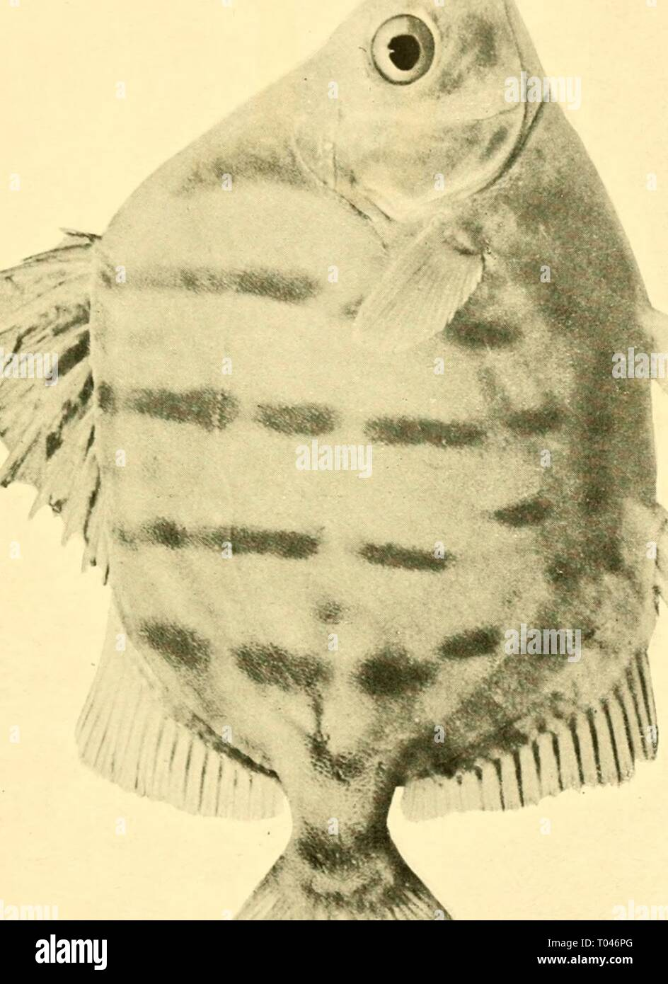 The edible fishes of New South Wales: their present importance and their potentialities . ediblefishesofne00stea Year: 1908  w H H PQ - Stock Image