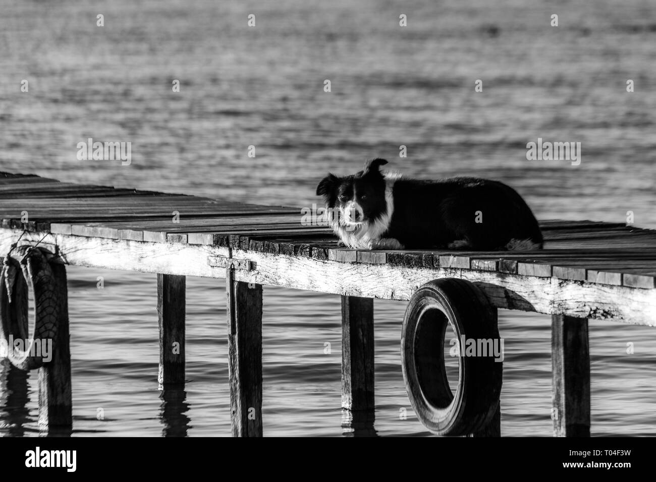 A dog resting on a pier overa a lake Stock Photo